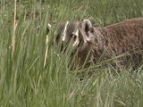 Badger (Taxidea Taxus) In Grass Looks Around