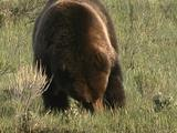 Grizzly Bear (Ursus Arctos) Digs To Forage For Food