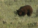 Grizzly Bear Cub (Ursus Arctos) Digs To Forage For Food