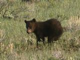 Grizzly Bear Cub (Ursus Arctos) Feeds, Mother Joins