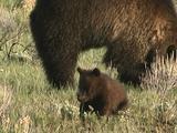 Grizzly Bear Cub (Ursus Arctos) Feeds, Mother Digs