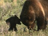 Grizzly Bear And Cub (Ursus Arctos) Dig To Forage For Food