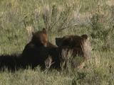 Grizzly Bear Cub (Ursus Arctos) Lies On Mother's Stomach To Nurse