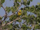 Western Meadowlark (Sturnella Neglecta) Perches In Tree