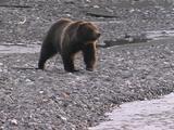 Grizzly Bear (Ursus Arctos) Walks Along Edge Of River