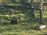 Grizzly Bear Mother And Cub Walk Through Grass, Over Fallen Trees