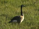 Canada Geese In Grassy Field