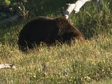 Grizzly Bear (Ursus Arctos) Forages In Grass