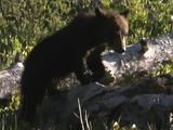 Grizzly Bear Cub (Ursus Arctos) Walks Across Fallen Trees