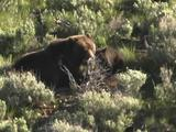 Grizzly Bear Mother And Cub Feed On Injured Elk