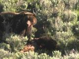 Grizzly Bear Mother And Cub Feed On Recently Killed Elk