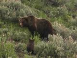 Grizzly Bear Mother And Cub (Ursus Arctos) Nuzzle, Forage In Sage Brush