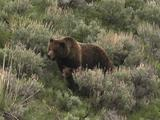 Grizzly Bear Mother And Cub (Ursus Arctos) Rest In Sage Brush