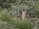 Coyote (Canis Latrans) Feeds In Tall Grass, Walks Away