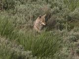 Coyote (Canis Latrans) Feeds In Tall Grass