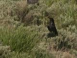 Ravens Forage In Sagebrush