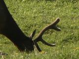 Bull Elk (Cervus Canadensis) Grazes, Close-Up Of Head And Antlers
