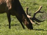 Bull Elk (Cervus Canadensis) Grazes