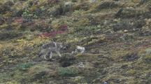 Wolf Mother (Canis Lupus) And Two Pups Play