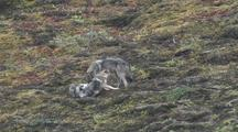 Wolf Pups (Canis Lupus) Play, Mother Watches Then Runs Off