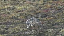 Two Wolf Pups (Canis Lupus) Play