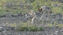 Wolf Mother (Canis Lupus) Watches Two Pups Play