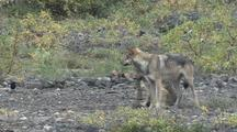 Wolf Mother (Canis Lupus) Watches As Pup Chews Stick
