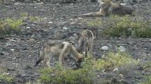 Wolf Mother (Canis Lupus) Rests, Pups Investigate