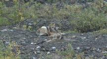 Wolf Pups (Canis Lupus) Rest