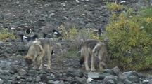 Wolf Pups (Canis Lupus) Investigate