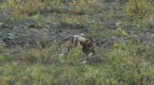 Wolf Pup (Canis Lupus) Tries To Get Mother To Play