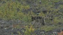 Wolf Mother (Canis Lupus) And Two Pups Walk Through Scrub