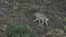Wolf (Canis Lupus) Walks Up Steep Hill