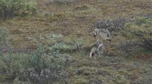 Two Wolf Pups (Canis Lupus) Investigate And Feed