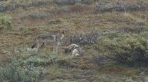 Two Wolf Pups (Canis Lupus) Play, One Plays With Mother