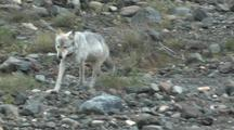 Wolf (Canis Lupus) With Radio Collar Trots Through Field Of Boulders
