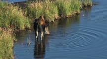 Moose (Alces Alces) Walks Through Water, Drinks