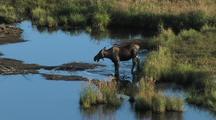 Moose (Alces Alces) Wades In Water, Feeds