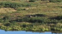 Moose (Alces Alces) Browses Next To Water, Zoom Wide To Scenic
