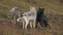 Three Wolves (Canis Lupus) Join Up, Shake Body