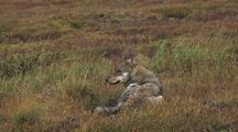 Wolf (Canis Lupus) Rests Lying In Grass, Stands Up And Walks Off