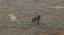 Three Wolves (Canis Lupus) Stand Together, One Mounts Other