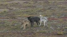 Three Wolves (Canis Lupus) One Tries To Mount Other