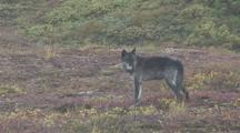 Wolf (Canis Lupus) With Radio Collar Stands And Howls