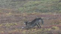 Wolf (Canis Lupus) With Radio Collar Stretches, Lies Down