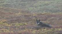 Wolf (Canis Lupus) With Radio Collar Lies In Grass, Howls