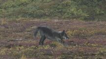 Wolf (Canis Lupus) With Radio Collar Stretches, Exits