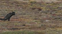 Wolf (Canis Lupus) Walks, Stops To Urinate, Walks