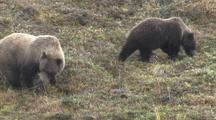 Bear Cubs (Ursus Arctos) Browse In Grass