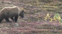Grizzly Bear (Ursus Arctos) Mother And Cubs Walk